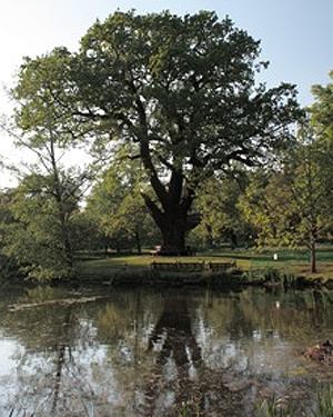 The Lockerbie Oak tree