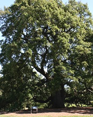 A Lucombe Oak tree