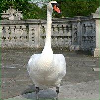 A mute swan.