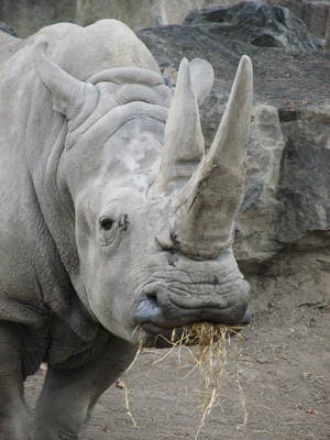 A white rhinoceros, showing the distinctive wide-lipped mouth.