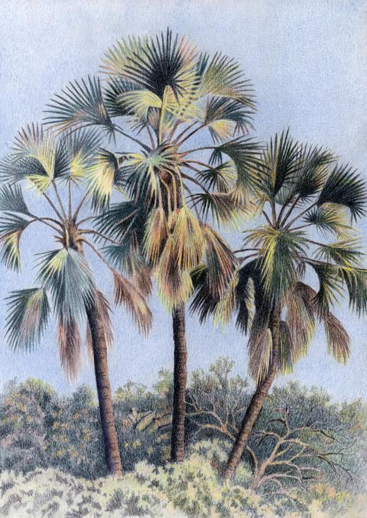 Northern Lala Palm by Willem