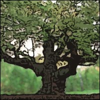 The legendary Old Oak tree of Sherwood Forest.
