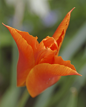A beautiful orange tulip