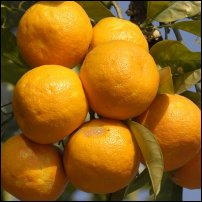 Some Seville oranges...or should that be noranges?