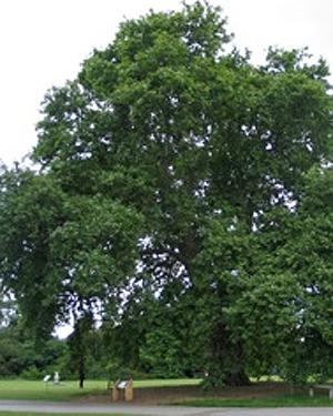 An Oriental Pine tree