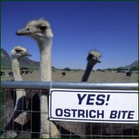 Some ostriches.