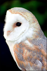 A proud-looking barn owl.