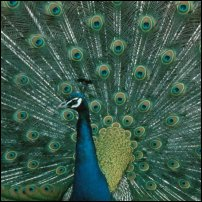 A peacock spreads its tail.