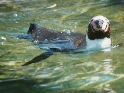 A penguin swimming