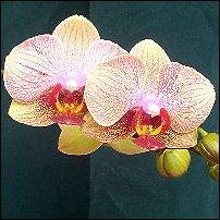 Phalaenopsis by Wilma.