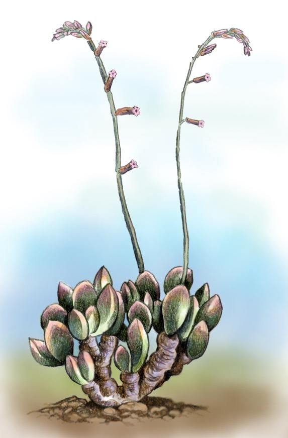 Adromischus umbraticola by Willem.