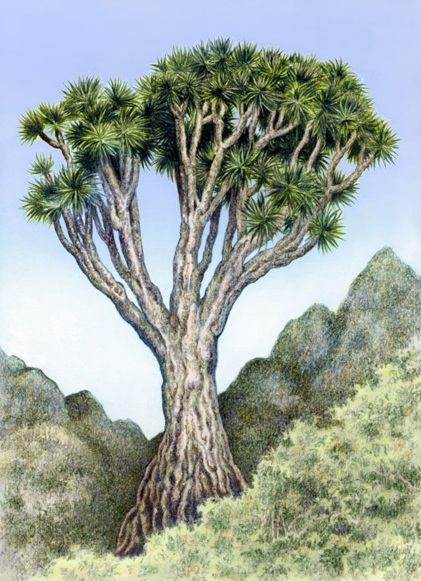 Canary Islands Dragon Tree by Willem.