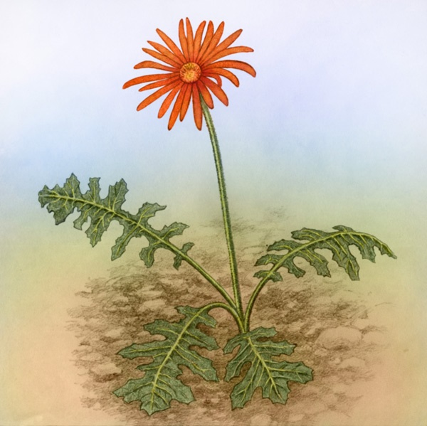 Barberton Daisy by Willem.