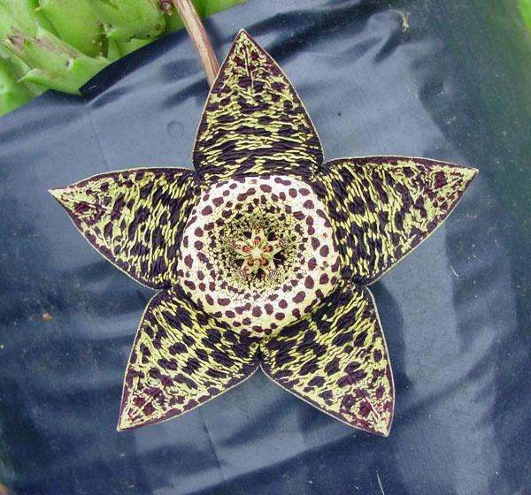 Variegated Carrion Flower.