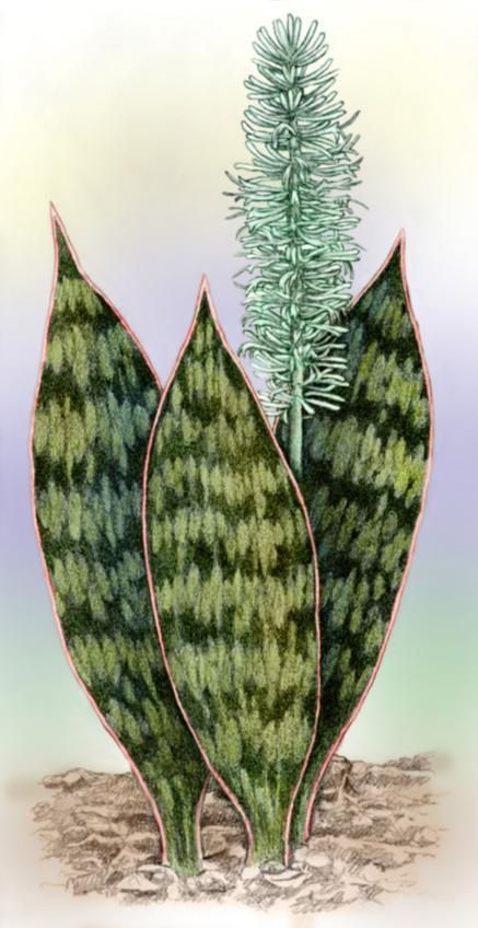 Sansevieria hyacinthoides by Willem.