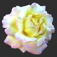 A delicate white rose with a hint of pink in its petals.