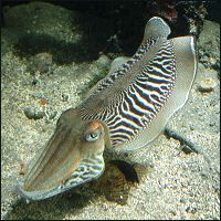 The Common Cuttlefish.
