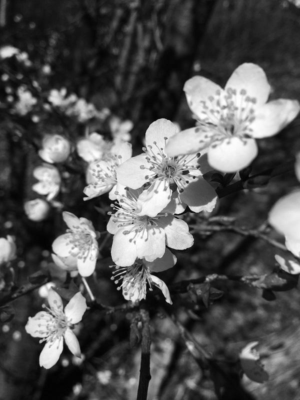 The plum tree in Tavaron's garden is blooming