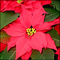 A picture of the plant euphorbia pulcherrimum, otherwise known as poinsettia.