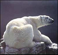 The massive bulk of a white polar bear, facing to the right.
