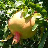 A pomegranate.