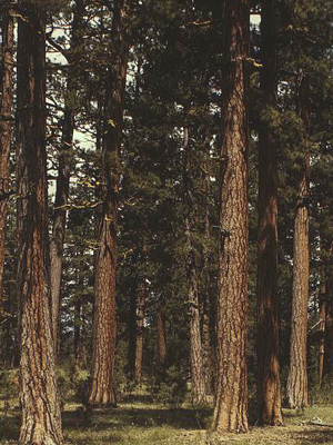 A ponderosa pine forest.