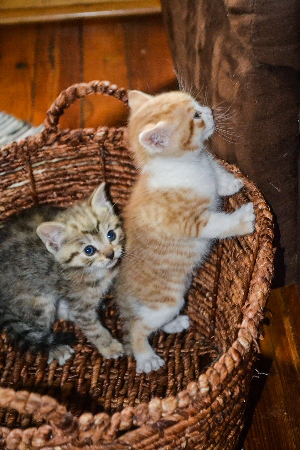 TJ and Other Kitties in a Basket by DG