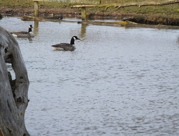 Geese on River by bobstafford