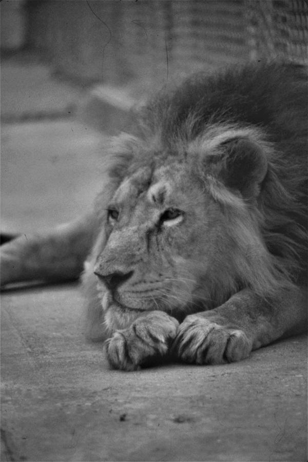 Lion by bobstafford