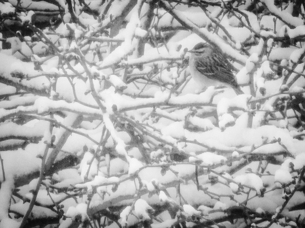 Sparrow in Snow by DG