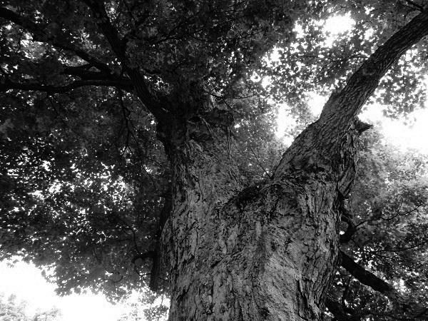 Venerable Tree by DG