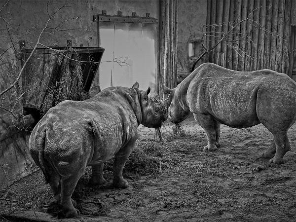 Rhinos by FWR