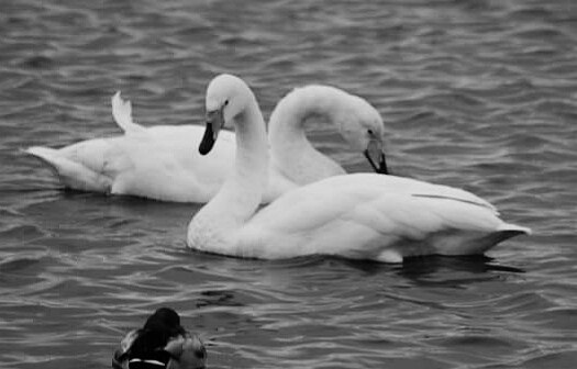 Swans by FWR