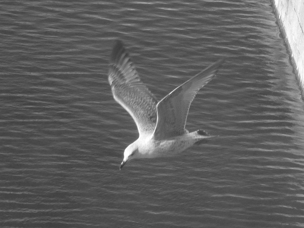 Gull in Flight by SashaQ