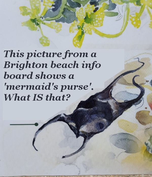 What is this 'mermaid's purse'?