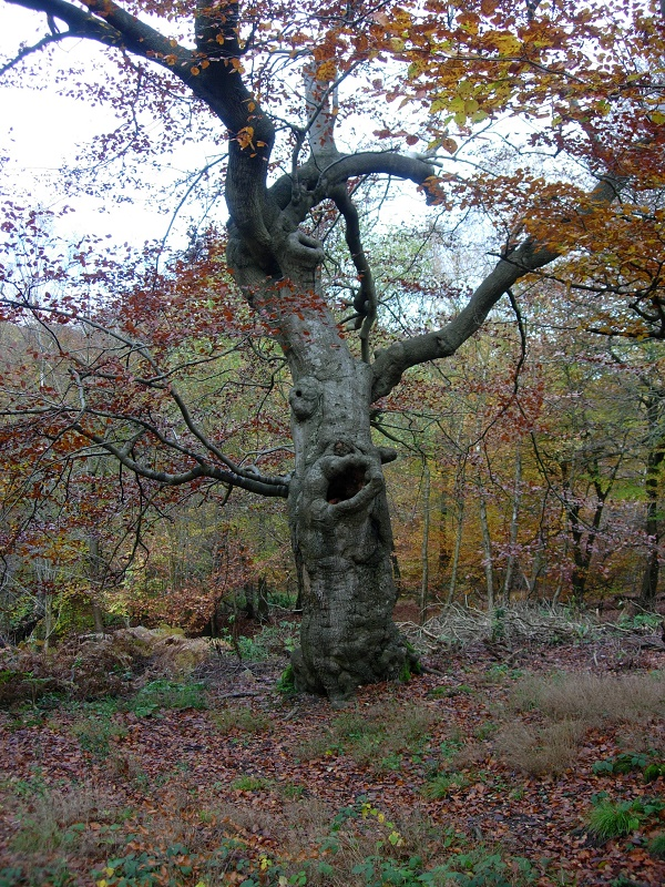 A tree that used to be a witch?