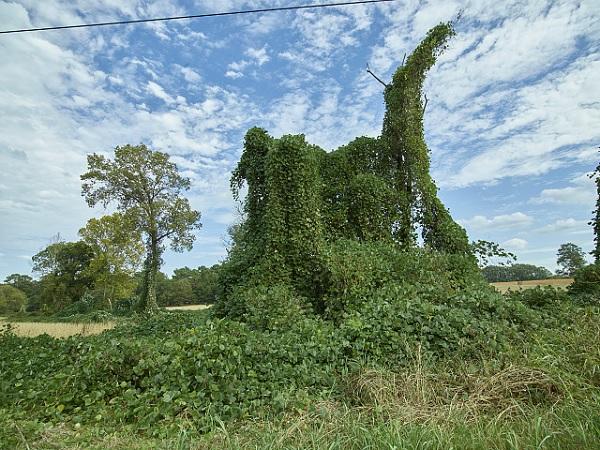 Kudzu covering landscape features