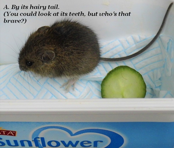 A vole has a furry tail. It also has different back teeth, but who's going to check there?