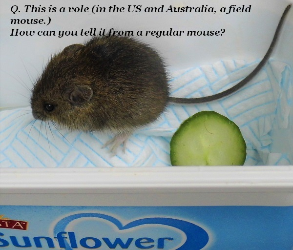 How do you tell the difference between a mouse and a vole?