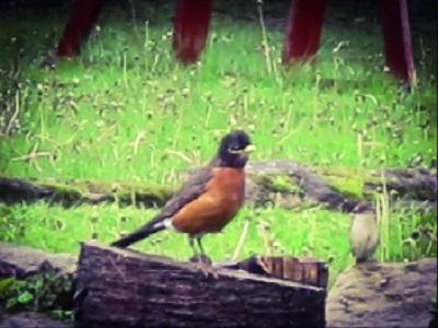 American Robin on Stump by DG
