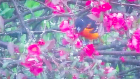 Baltimore Oriole by DG