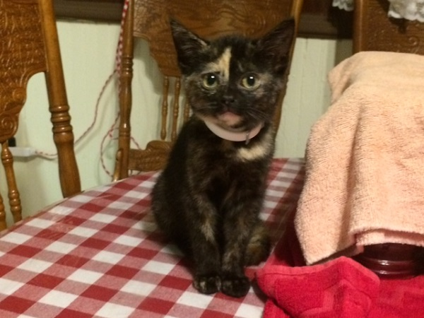 Brownie the kitten, completely free of botfly parasites, by Mrs Hoggett.