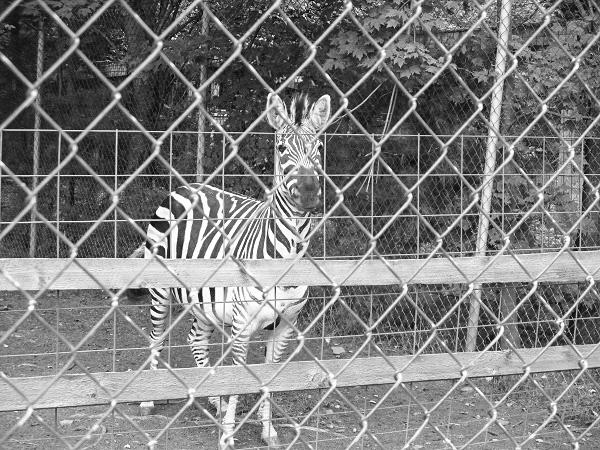 Zebra Behind Bars by DG.