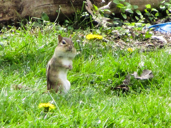 Chipmunk standing up and looking surprised, with a mouthful of seeds
