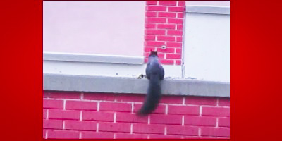 Fred the Squirrel leaping around, by DG