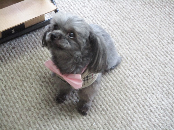 Lola the five-pound Shorkie shows off her new haircut and her large, pink bow. By Dmitri Gheorgheni