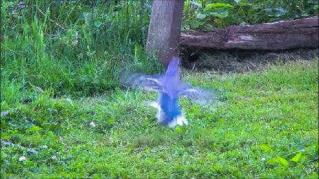 Blue Jay in Flight by DG