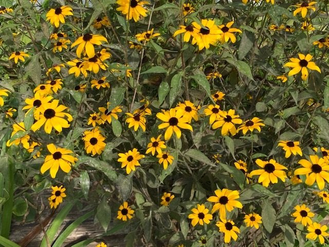 Brown-Eyed Susans at the Farm, by Mrs Hoggett.