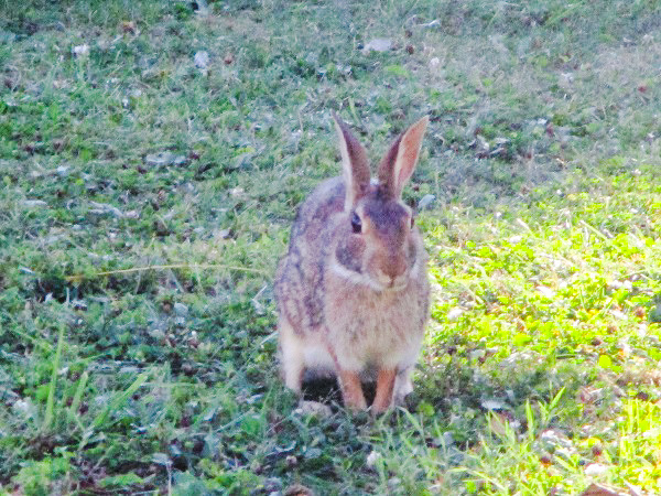 An American Cottontail Rabbit sitting for its portrait near the side porch of the Post Office. By Dmitri Gheorgheni