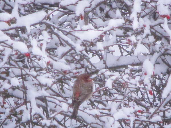 Cardinal in Snow by DG